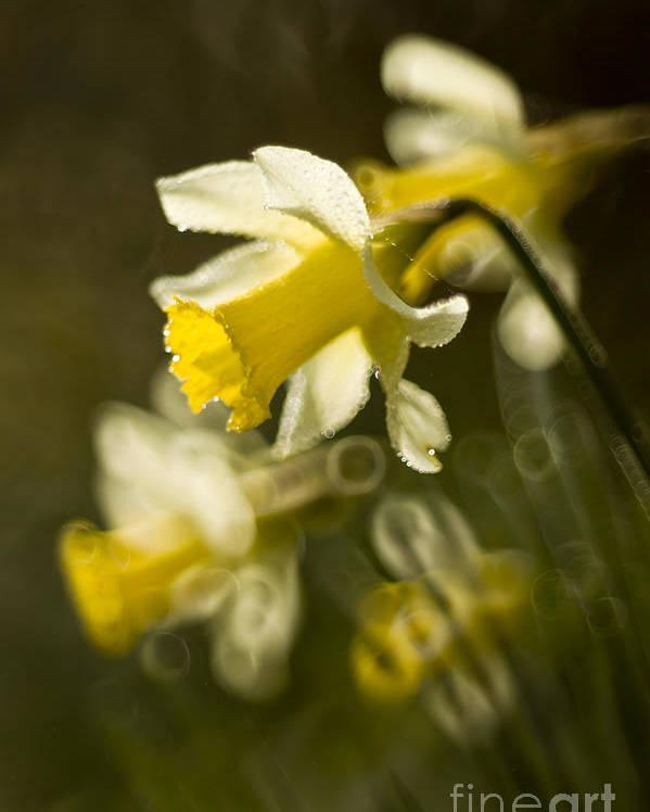 Daffodil Poster featuring the photograph Daffodils by Angel Ciesniarska