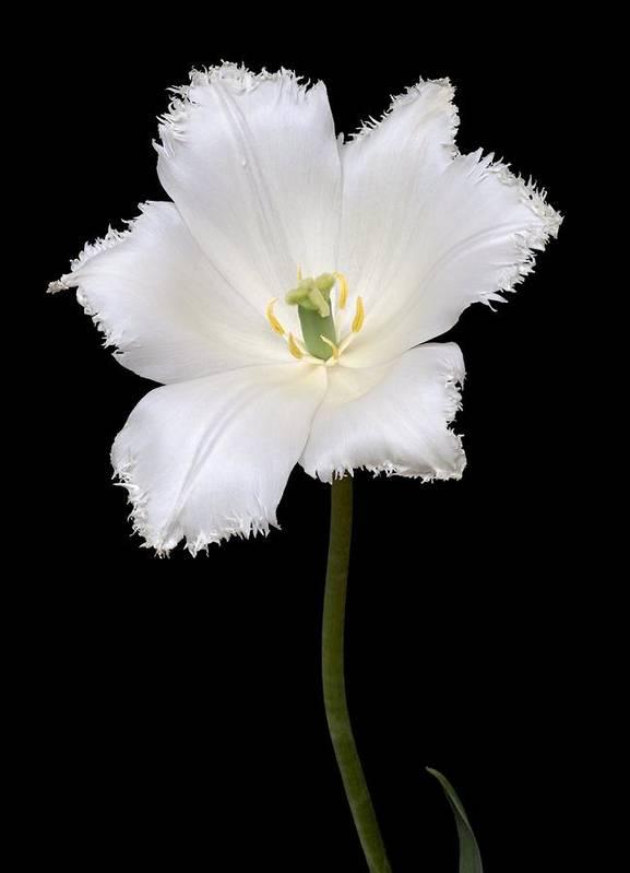 Tulip Poster featuring the photograph Tulip (tulipa Gesneriana) by Dr. Nick Kurzenko