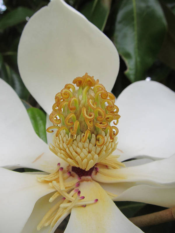 Flowers Poster featuring the photograph Magnolia by Michele Caporaso