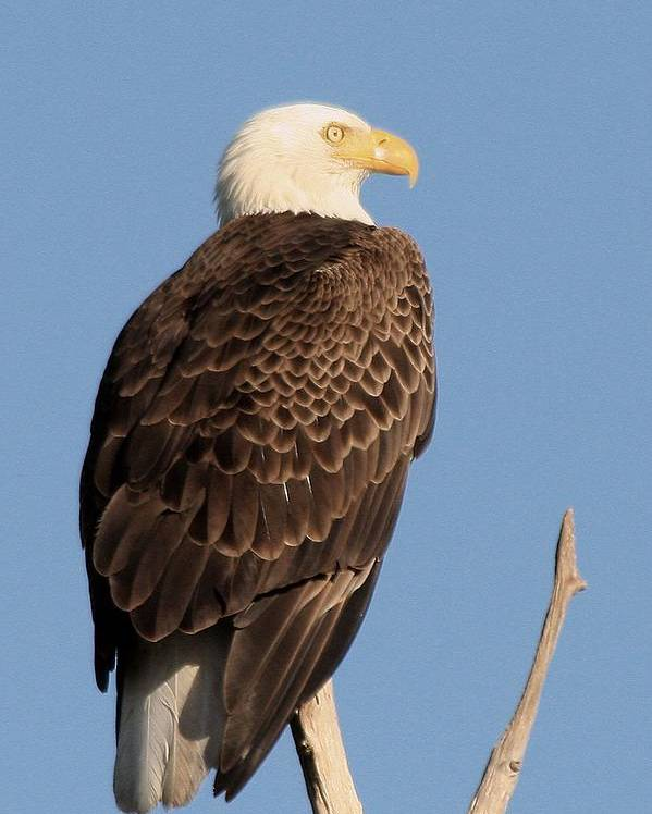 Adult Poster featuring the photograph Bald Eagle by Ira Runyan