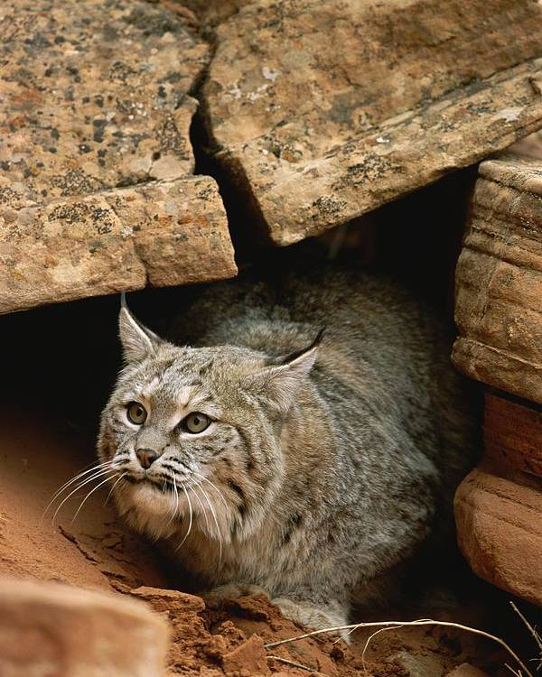 Animals Poster featuring the photograph A Bobcat Pokes Out From Its Alcove by Norbert Rosing