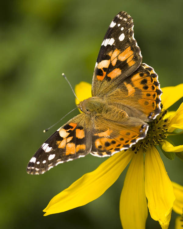 Jemez Mountains Poster featuring the photograph A Butterfly Sits Atop A Yellow by Ralph Lee Hopkins