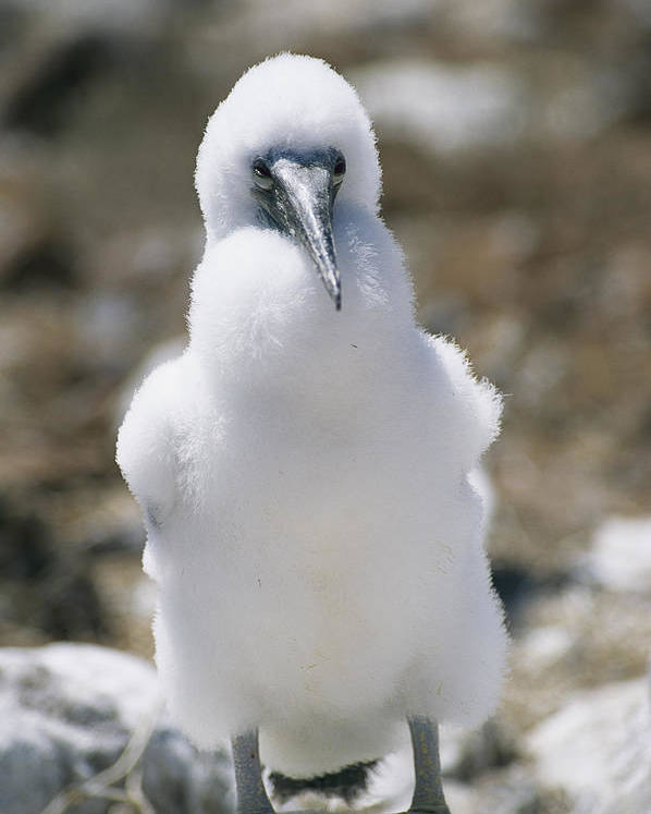 Pacific Islands Poster featuring the photograph A Chick Blue Footed Booby Sits by Gina Martin