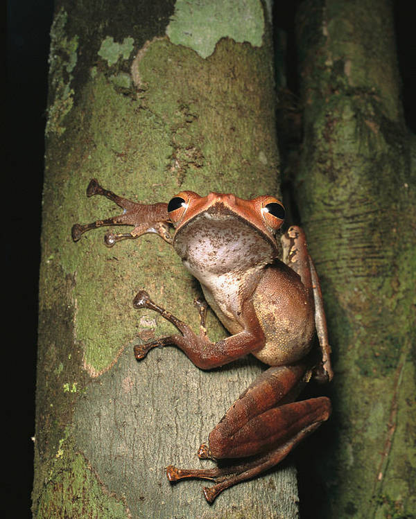 Scenes And Views Poster featuring the photograph A Collets Tree Frog Rhacophorus Colleti by Tim Laman