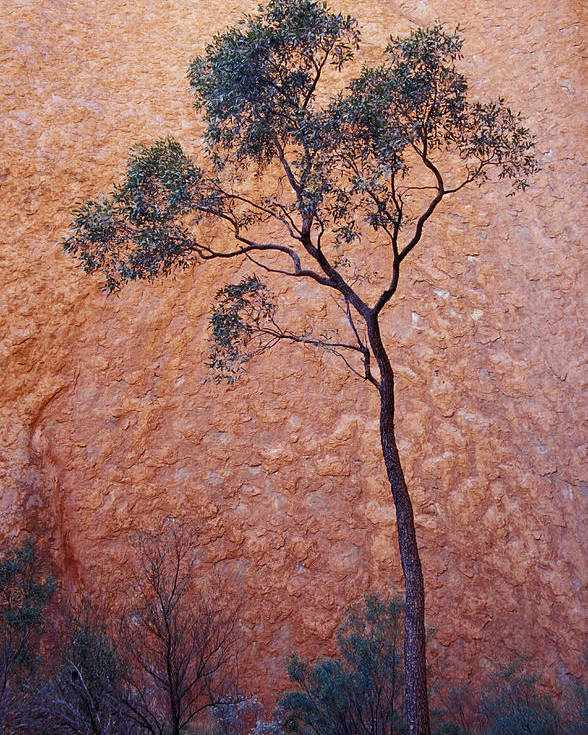 Desert Bloodwood Tree Poster featuring the photograph A Desert Bloodwood Tree Against The Red by Jason Edwards