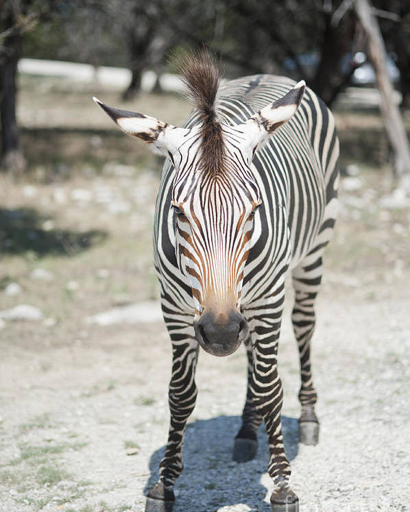 Zebra Poster featuring the photograph A Focused Zebra by Stacey Callaway