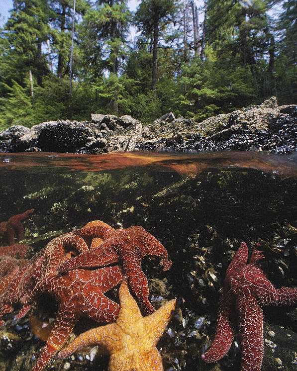 Aquatic Split Level Views Poster featuring the photograph A Group Of Ochre Sea Stars Clustered by Bill Curtsinger