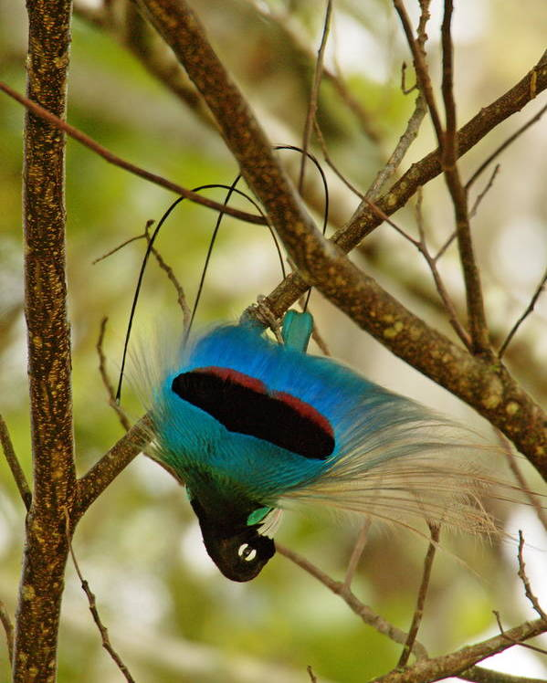 Outdoors Poster featuring the photograph A Male Blue Bird Of Paradise Performing by Tim Laman