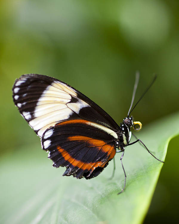Blue And White Longwing Poster featuring the photograph A Side View Of A Butterfly by Taylor S. Kennedy