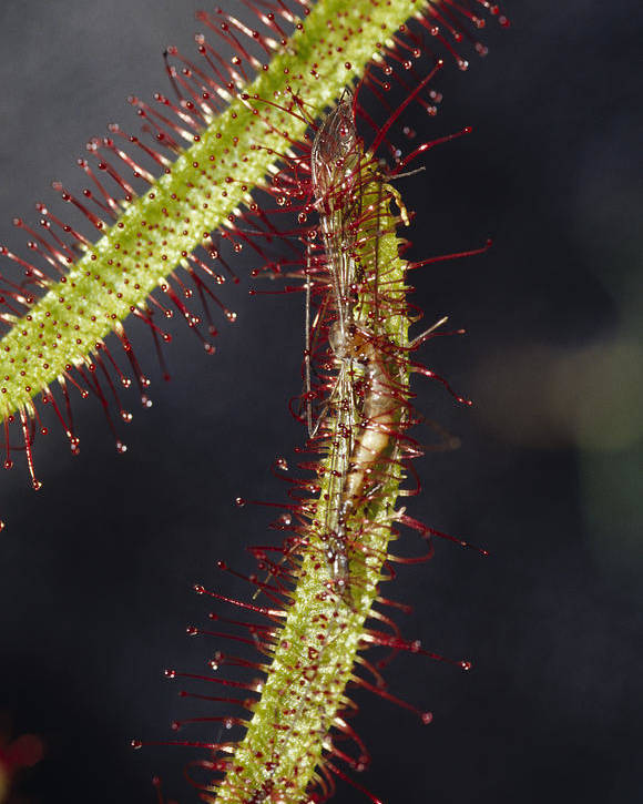 Collectors Corner Poster featuring the photograph A Sundew Carnivourous Plant, Drosera by Jason Edwards