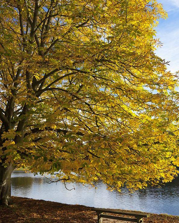 Water Poster featuring the photograph A Tree With Golden Leaves And A Park by John Short