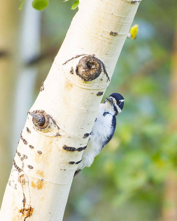 Woodpecker Poster featuring the photograph A Woodpeck Behind An Eye Of A Tree by Ellie Teramoto