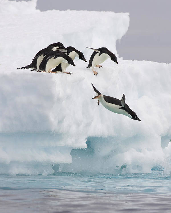 00761831 Poster featuring the photograph Adelie Penguin Diving Antarctica by Suzi Eszterhas