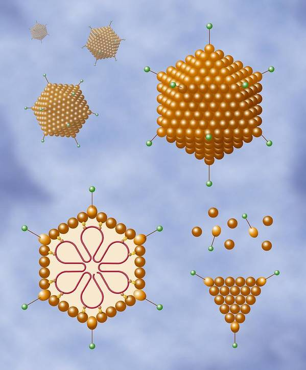 Dna Poster featuring the photograph Adenovirus Structure, Artwork by Art For Science