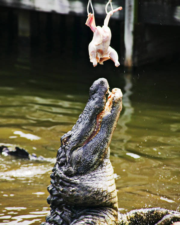 Alligator Poster featuring the photograph Alligator Feeding by Garry Gay