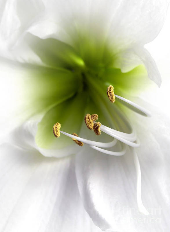 Hippeastrum Amaryllis Poster featuring the photograph Amaryllis by Jane Rix