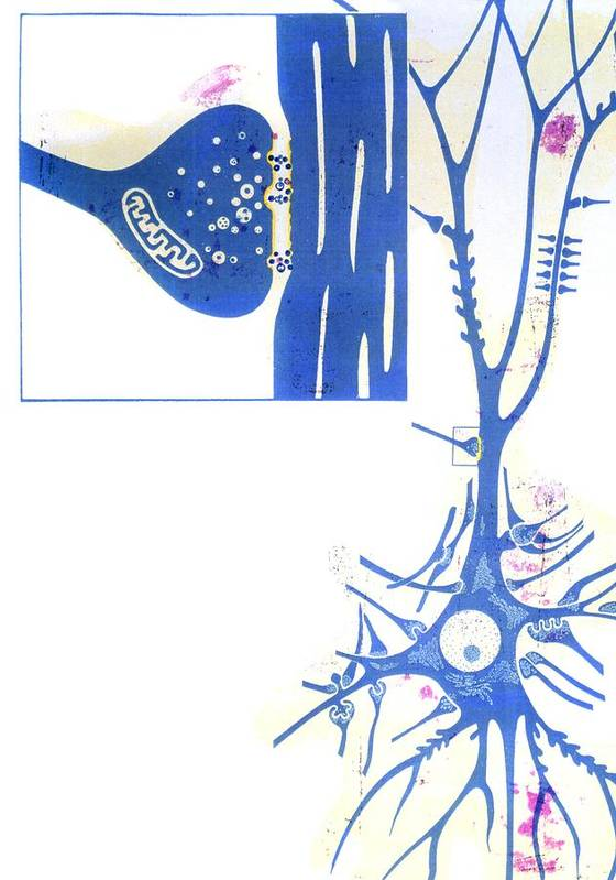 Synapse Poster featuring the photograph Artwork Of A Nerve Cell Of The Brain & A Synapse by Hans-ulrich Osterwalder