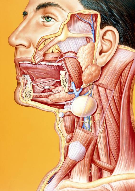 Calculus Poster featuring the photograph Artwork Of Mouth/neck: Tumour, Cyst, Duct Calculus by John Bavosi