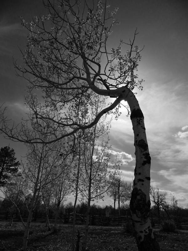 Tree Poster featuring the photograph Aspen Silhouette by Alyssa McClellan