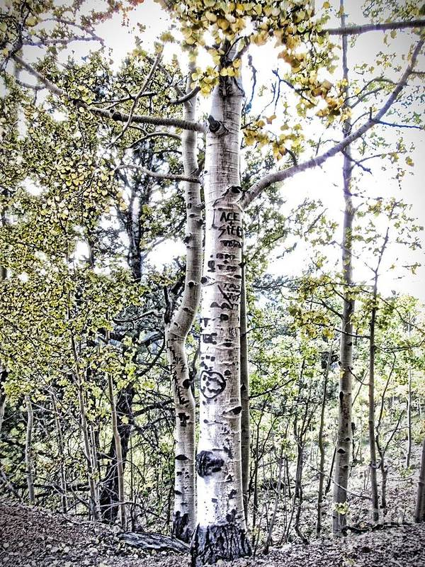 Aspen Tree Poster featuring the photograph Aspens by Christina Perry