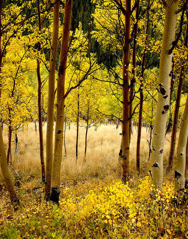 Aspens Poster featuring the photograph Aspens by Jim Painter