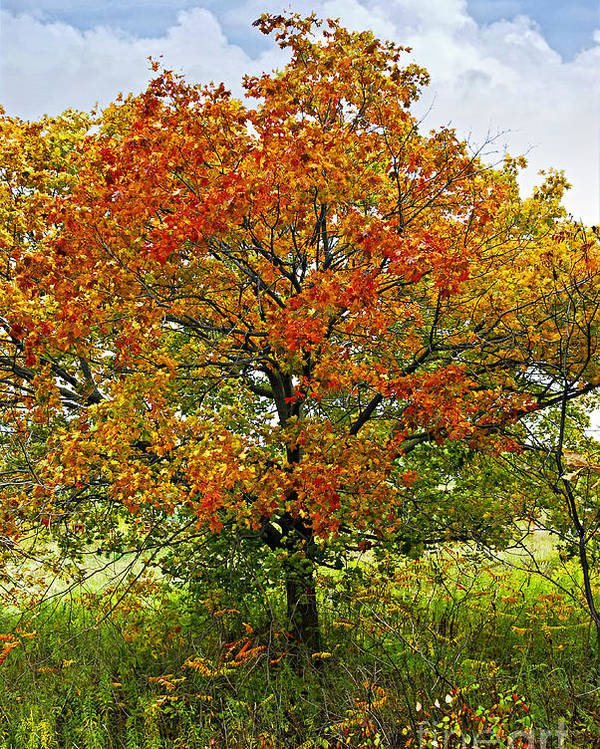 Autumn Poster featuring the photograph Autumn Maple Tree by Elena Elisseeva