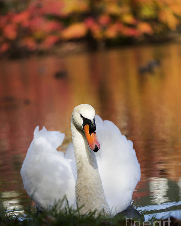 Autumn Poster featuring the photograph Autumn Swan by Leslie Leda