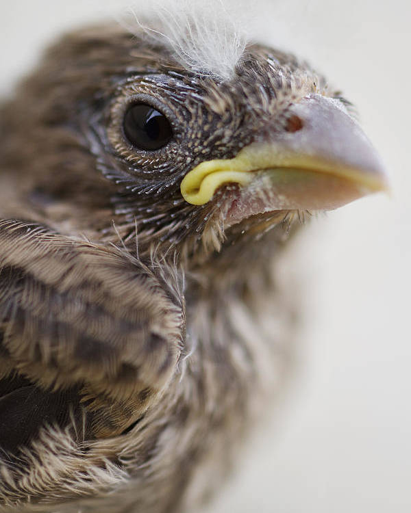 Baby Bird Poster featuring the photograph Baby Bird 3 by Jessica Velasco