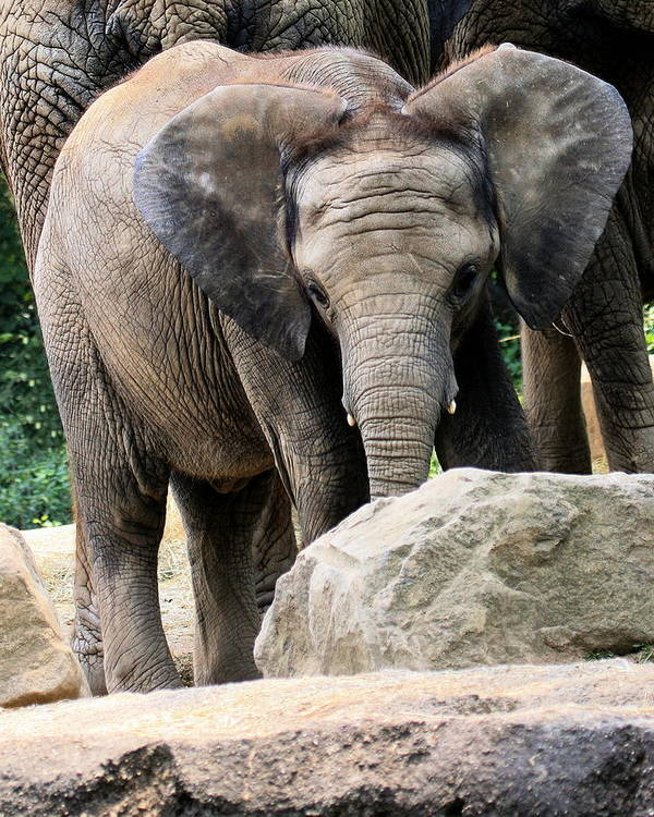 African Elephant Poster featuring the photograph Baby Elephant by Angela Rath