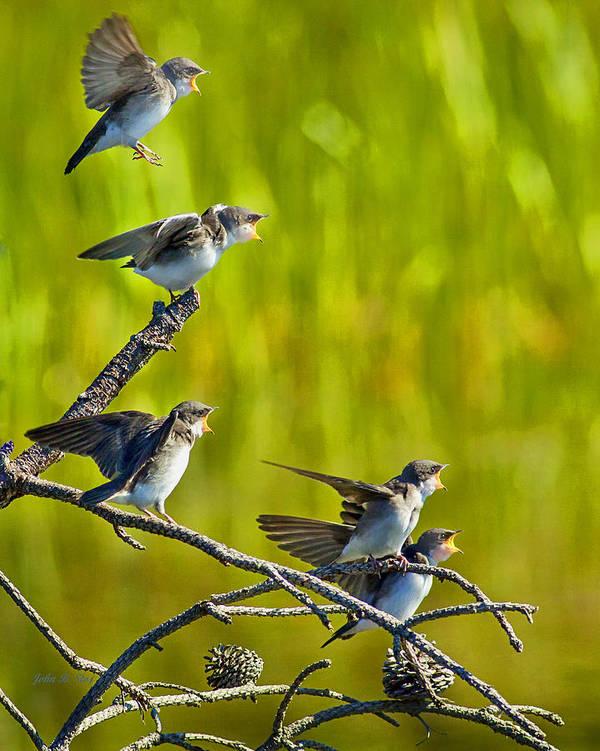 Tree Swallows Poster featuring the photograph Baby Tree Swallows Feeding #1 by John Stoj