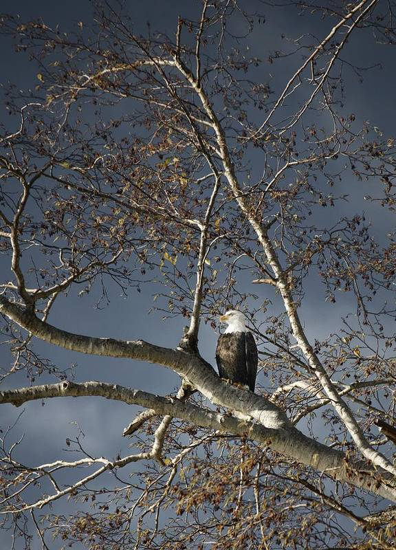 Animal Poster featuring the photograph Bald Eagle In A Tree by Con Tanasiuk