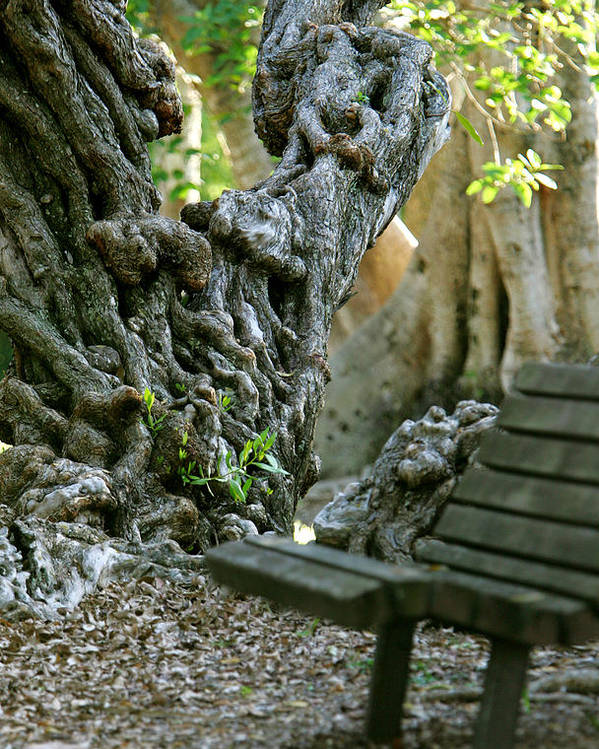 Banyan Tree Poster featuring the photograph Banyan Tree And Park Bench by Dennis Clark