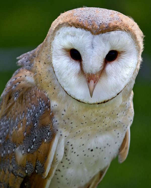 Birds Poster featuring the photograph Barn Owl by Celine Pollard