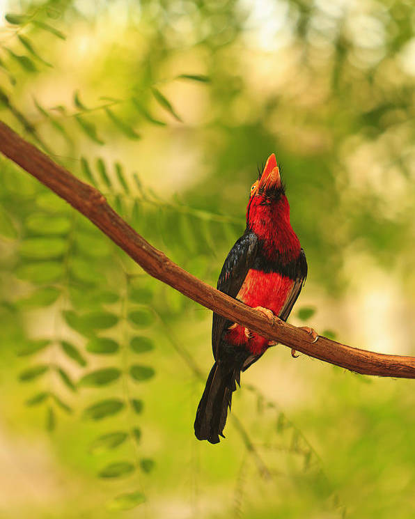 Aves Poster featuring the photograph Bearded Barbet by Stuart Westmorland