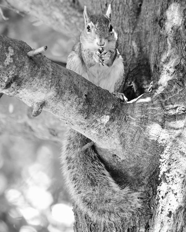Squirrel Poster featuring the photograph Betsy by Lynda Dawson-Youngclaus