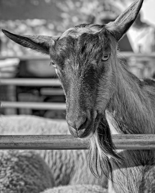 Petting Zoo Poster featuring the photograph Billy The Ham Monochrome by Steve Harrington