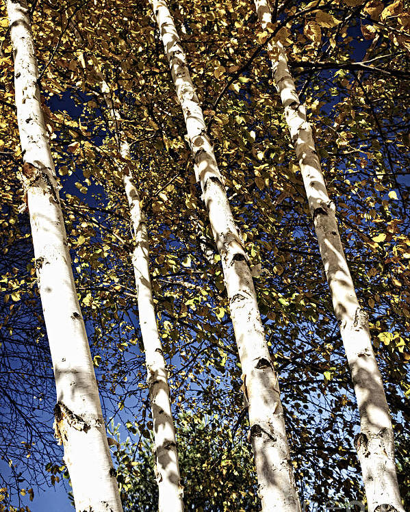 Birch Poster featuring the photograph Birch Trees In Fall by Elena Elisseeva