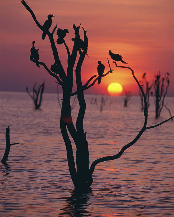 Calm Poster featuring the photograph Birds On Tree, Lake Kariba At Sunset by Axiom Photographic