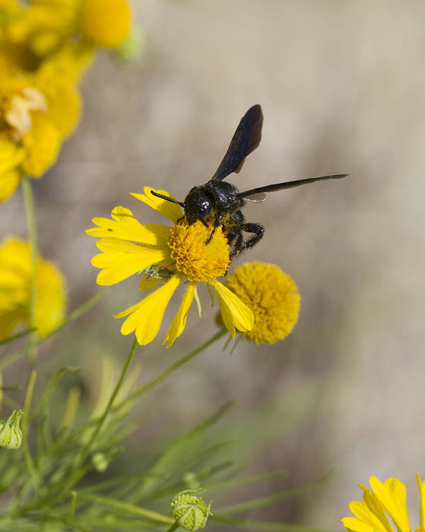 Bitterweed Poster featuring the photograph Bitterweed And Black Wasp by Kathy Clark