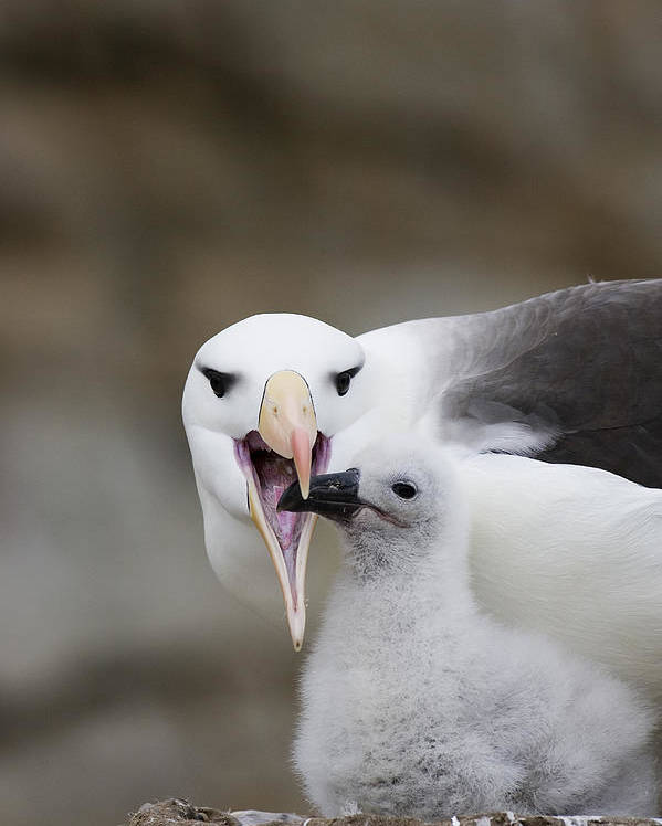 00761797 Poster featuring the photograph Black Browed Albatross Preparing by Suzi Eszterhas
