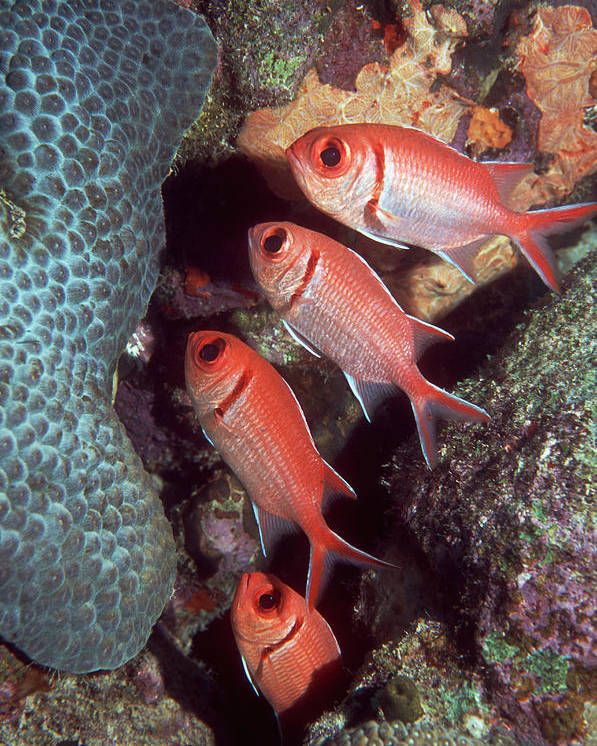 Myripristis Jacobus Poster featuring the photograph Blackbar Soldierfish by Georgette Douwma