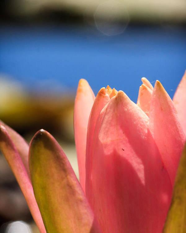 Petals Poster featuring the photograph Blooming Lotus by Dina Calvarese
