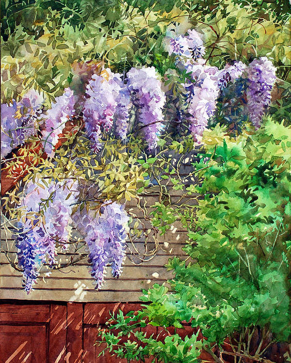 Peter Sit Watercolor Poster featuring the painting Blooming Wisteria by Peter Sit