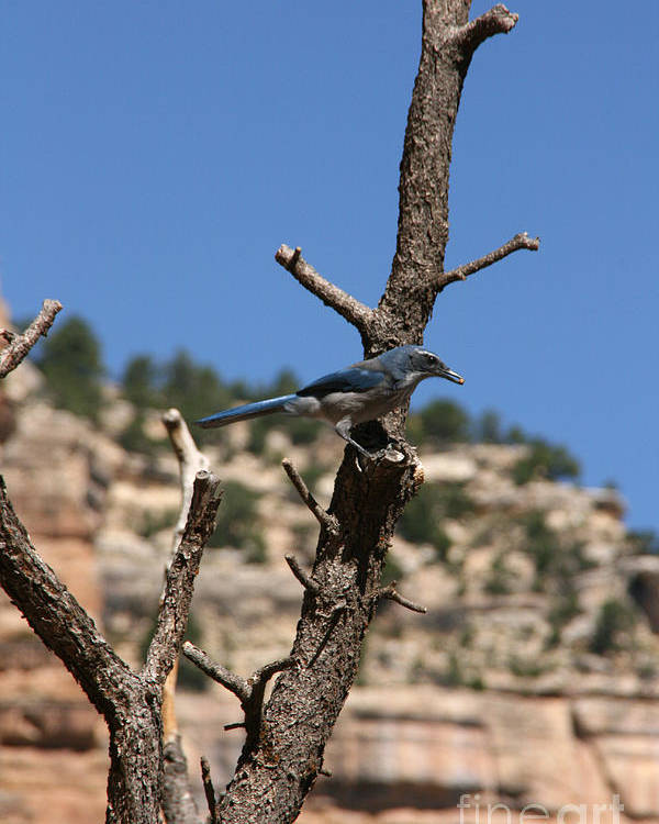 Blue Poster featuring the photograph Blue Bird Grand Canyon National Park Arizona Usa by Audrey Campion