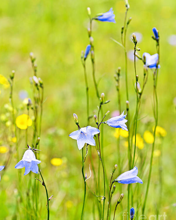 Flowers Poster featuring the photograph Blue Harebells Wildflowers by Elena Elisseeva