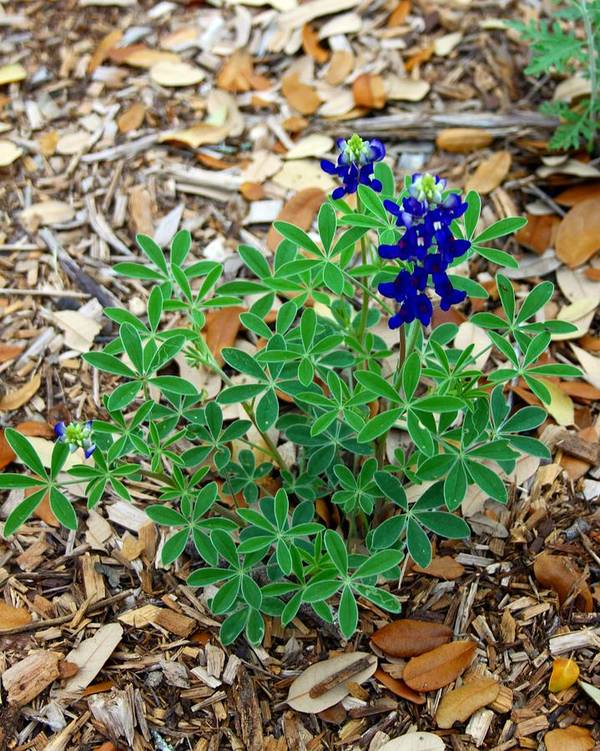 Wildflower Poster featuring the photograph Bluebonnet II by Monica Wheelus