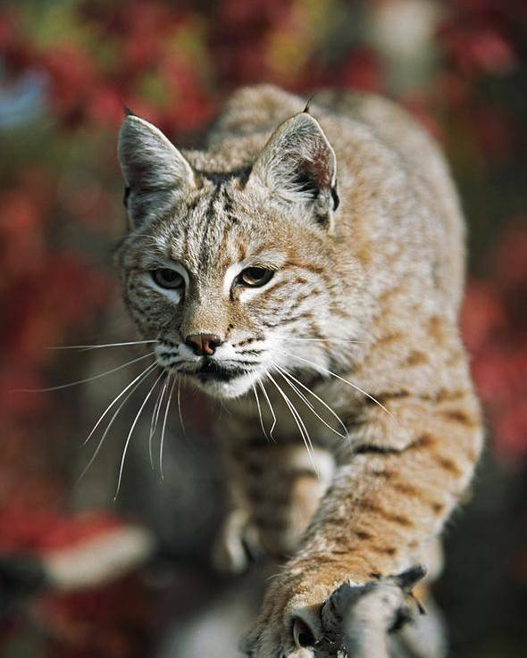 Attacking Poster featuring the photograph Bobcat Felis Rufus by David Ponton