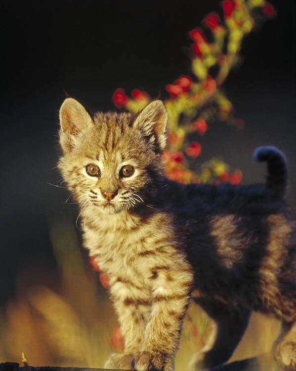 00173214 Poster featuring the photograph Bobcat Kitten Standing On Log North by Tim Fitzharris