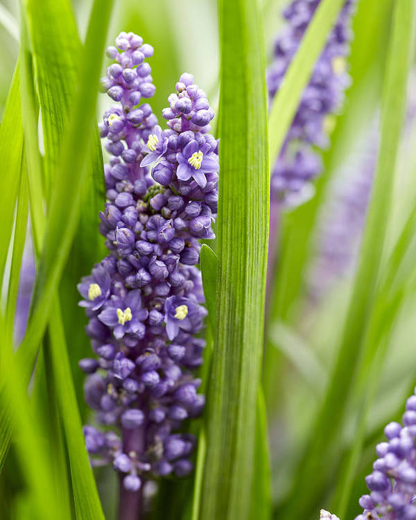 Border Grass Liriope Muscari Big Blue Poster By Visionspictures