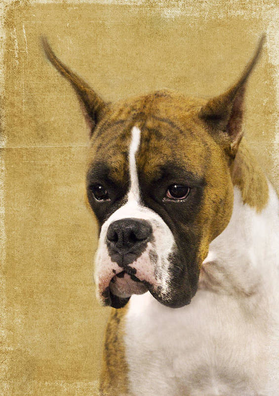 Boxer Poster featuring the photograph Boxer by Rebecca Cozart